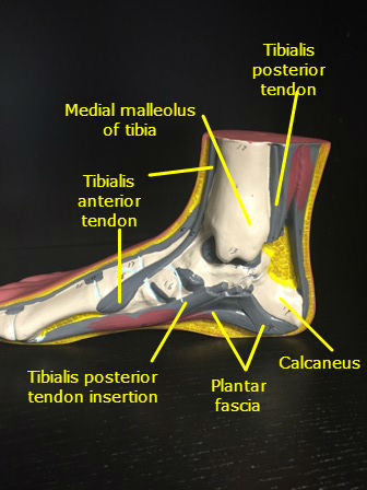 foot ankle model muscles labeled
