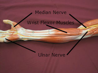 forearm muscles anterior flexors labeled