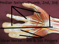 hand median ulnar nerve distribution