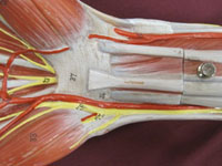 hand muscles anterior carpal tunnel