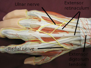 hand muscles posterior labeled