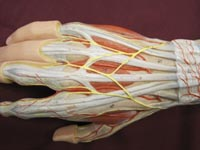 hand muscles posterior
