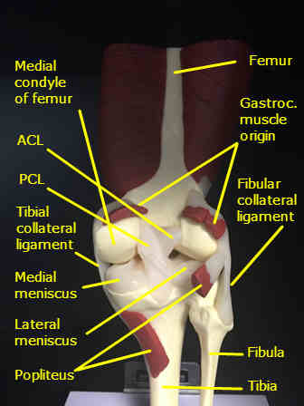 knee model posterior labeled