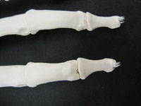 phalanges bone finger